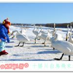 [北海道慶典] 十勝川白鳥飛來地~ 近距離觀賞天鵝!!