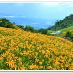 [花蓮富里] 花蓮六十石山金針花~ 如畫般的金針花海