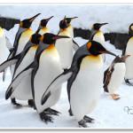 [北海道旭川] 旭山動物園~ 企鵝大遊行,冬季限定超人氣行程