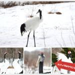 [釧路] 釧路市丹頂鶴自然公園~ 近距離觀賞丹頂鶴英姿