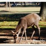 奈良公園~近距離餵鹿、和鹿一起追逐