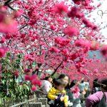[台中后里] 泰安派出所櫻花~ 全台最美的警察局,櫻花盛開中!!