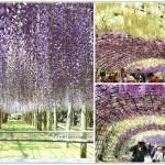 [福岡景點] 北九州河內藤園~ 夢幻的紫藤花,季節限定!